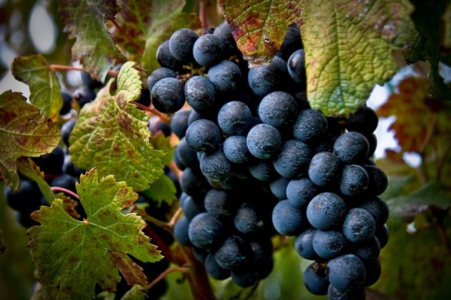 Piedirosso dei Campi Flegrei il vino che viene da lontano