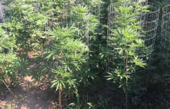 Sequestro di 37 piante di cannabis e un arresto della Guardia di Finanza di Pozzuoli