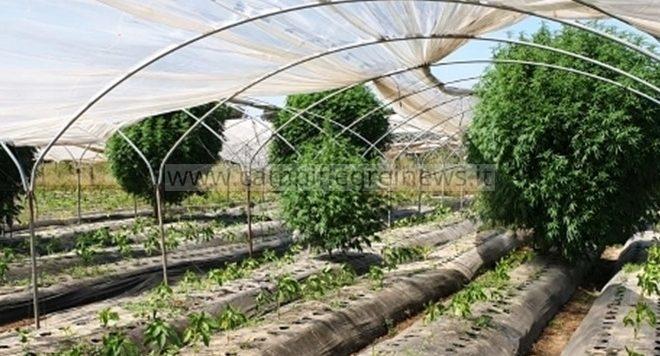 VARCATURO/ Piante di marijuana nella serra tra gli ortaggi, denunciate 2 persone