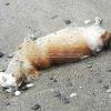 BACOLI/ Carogna di un cane morto rivenuta sull'arenile di Miliscola|FOTO
