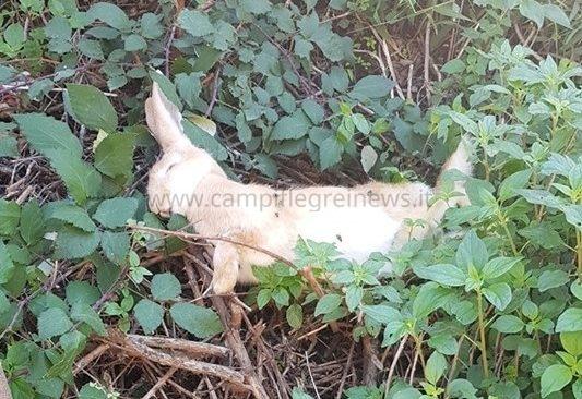 BACOLI/ Via Cupa della Torretta, tra degrado, rifiuti e carogne di animali morti