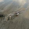 LICOLA/ Carogna di topo grosso come un coniglio sulla spiaggia di Licola