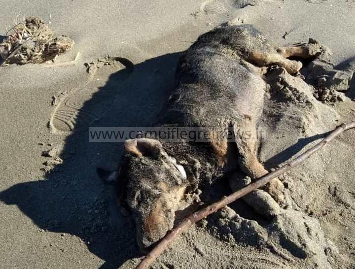 BACOLI/ Cane morto trovato sull'arenile di Capo Miseno